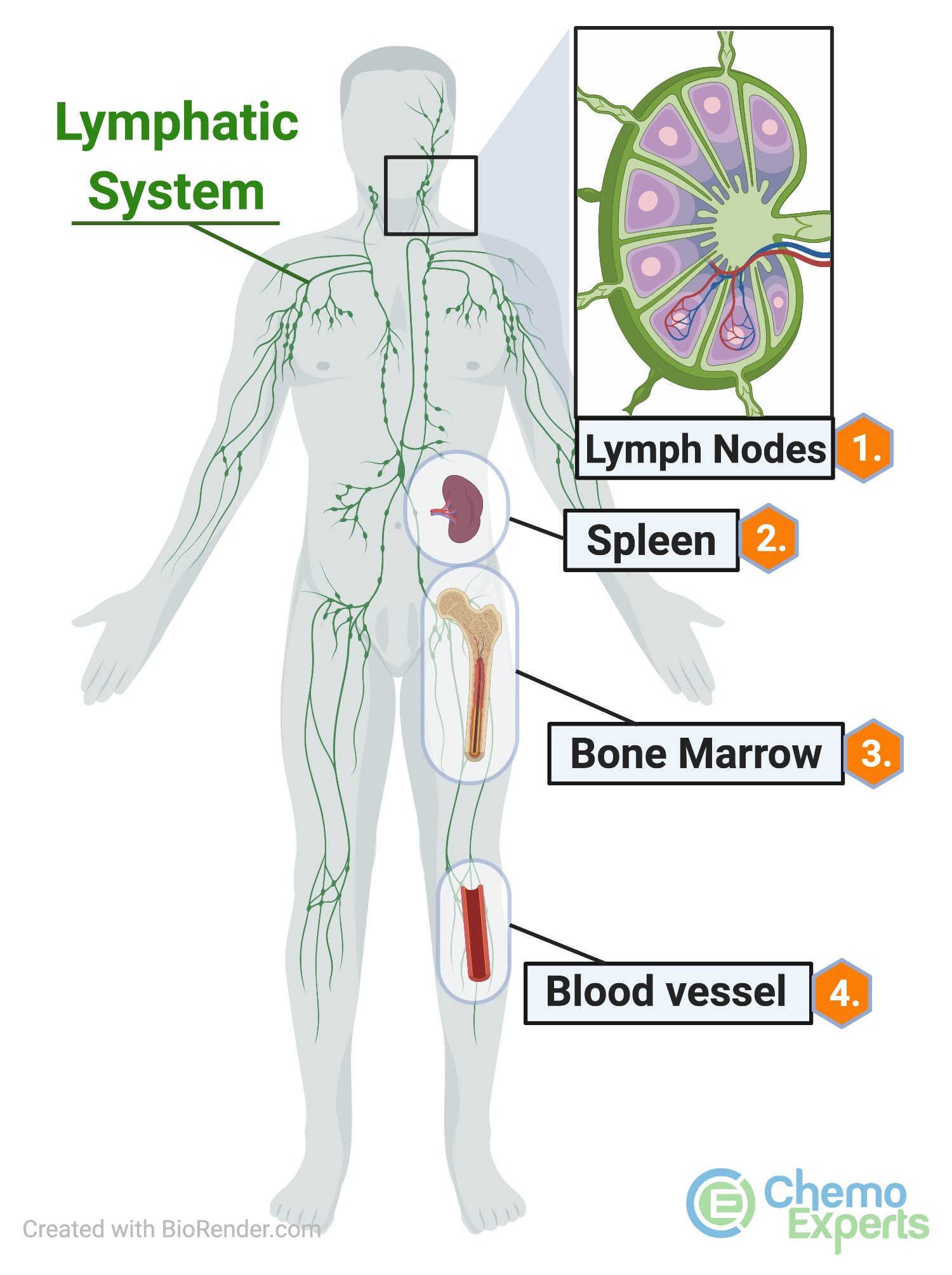 CLL may affect lymph nodes, the spleen, bone marrow, and the blood